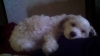 Lhasa-Poo, 2 1/2, white and cream colored