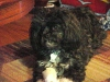 Lhasa-Poo, 7yrs, Black and White