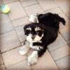 Lhasa-Poo, 3 Months, Black/ White/Grey/Blonde