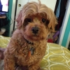 Lhasa-Poo, 7, light brown
