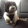Lhasa-Poo, 12 weeks, Black and white
