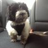 Lhasa-Poo, 12 weeks, Black and white