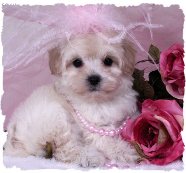 Lhasa-Poo, Unknown, blonde, Provided from Google