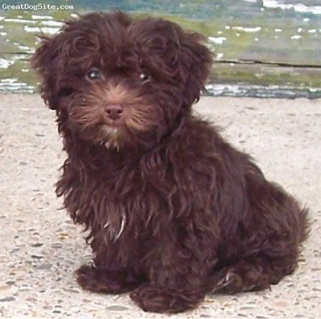 Lhasa-Poo, Unknown, Brown, Provided from Google