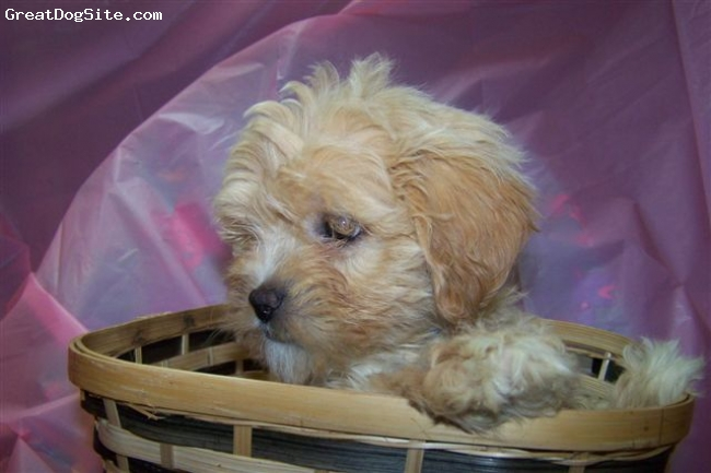 Lhasa-Poo, Unknown, gold, Provided from Google