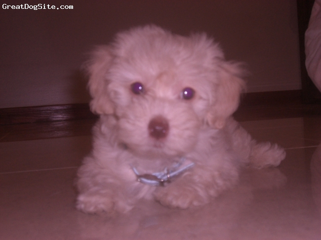 Lhasa-Poo, 4 months, light Beige, The most amazing dog ever!