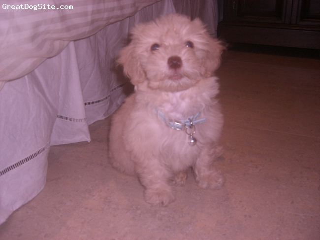 Lhasa-Poo, 4 months, light Beige, The cuttest green-eye and pinky nose puppy ever !