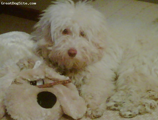 Lhasa-Poo, 11 months, Light Beige, This is my beloved Poker when he was 11 month old
