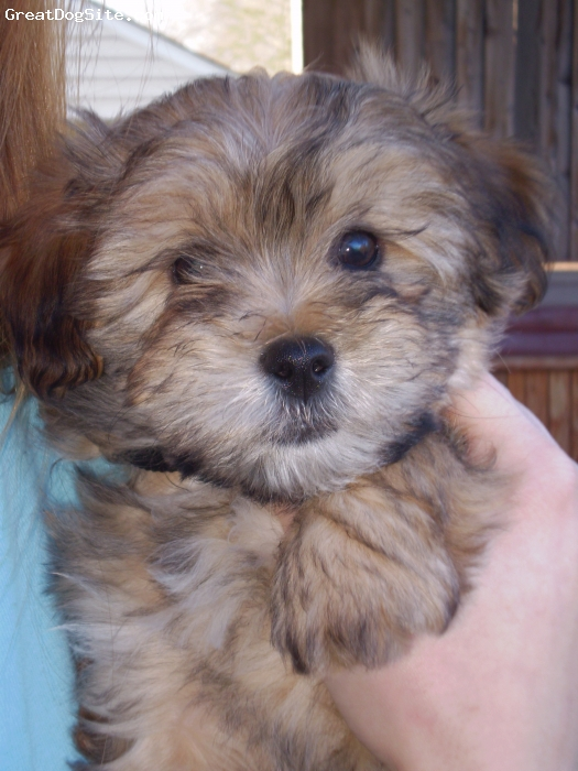 Lhasa-Poo, 8 Weeks, Brownish Black, Most loving puppy we have ever had.  Just a bouncing bundle of love.