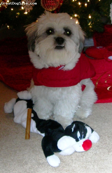 Lhasa-Poo, 1, white, Loved to hide behind the Christmas tree!!