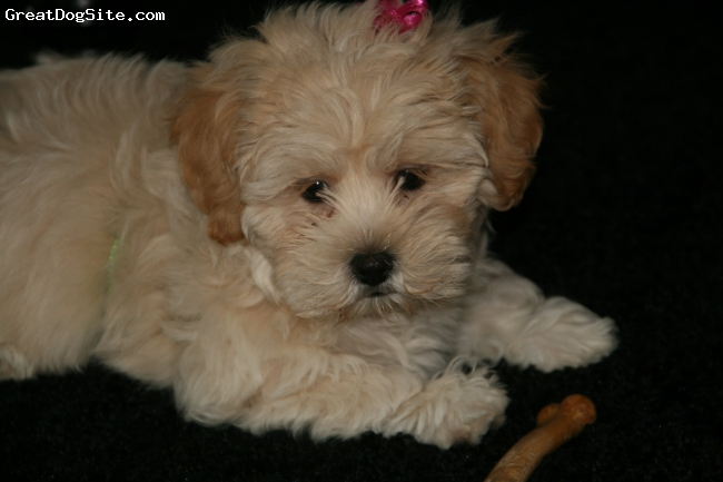 Lhasa-Poo, 9 weeks, cream, fluffy, loveable, playful