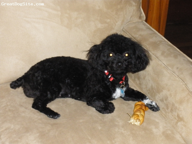 Lhasa-Poo, 9 months, black, lovable and friendly, a pleasure to have, this dog could not be loved more