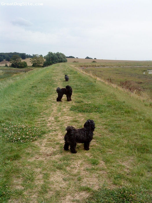 Lhasa-Poo, 2 3 and 4, black, mY BEAUTIFUL DOGS ARE MAM DAD AND SON