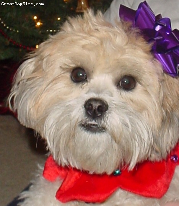 Lhasa-Poo, 1, brown, tan, creme, black, He has black in him because of his father which was a black poodle. He has the colors of creme, brown, and tan sinse his mother was a lhaso apso.