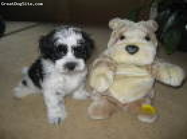 Lhasa-Poo, 8 weeks, black and white, black and white male