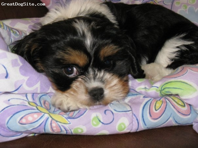 Lhasalier, 4 Months, Black , White , Tan/Brown., Cutiee(: