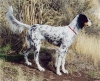 Llewellin Setter, unsure, Tri-color