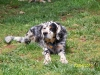 Llewellin Setter, 6 years old, Tri-colored