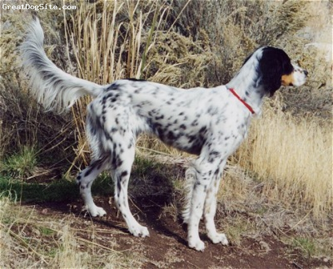 Llewellin Setter, unsure, Tri-color, unsure