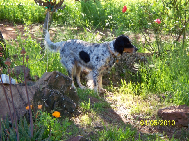 Llewellin Setter, 4 years old, Tri-colored, She is on the go as soon as she is out of her kennel pointing birds on our 10 acres. She loves people and adores affection.