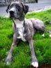 Louisiana Catahoula Leopard Dog, one, black and white