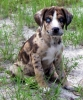 Louisiana Catahoula Leopard Dog, 8 weeks, rattle-snake brindle