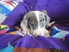 Louisiana Catahoula Leopard Dog, 6 weeks, blue mearel