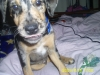 Louisiana Catahoula Leopard Dog, 4 months, all colors