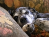 Louisiana Catahoula Leopard Dog, 11, Blue Merle