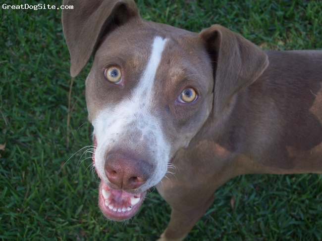 Louisiana Catahoula Leopard Dog, 1, white, brown, The best dog for hunting or tracking. Very family oriented. She is very protective. A great family dog!