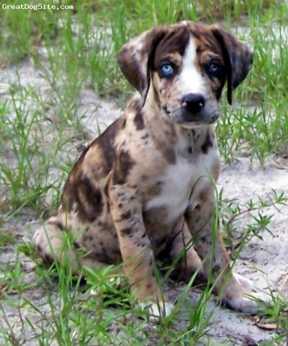 Louisiana Catahoula Leopard Dog, 8 weeks, rattle-snake brindle, Has every color you can think of. One glass eye the other cracked.  This was a pic of him as a baby.  We love him.