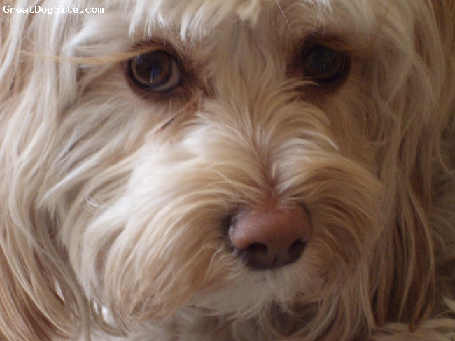Lowchen, 3, Blond/apricot highlights, A wonderful dog that we rescued!! The best breed you could ever imagine!!