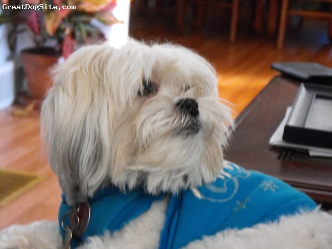 """Mal-Shi, 2 1/2, white and tan, She is a very loving dog. She is also known to my husband and kids as """"Momma's Baby"""""""