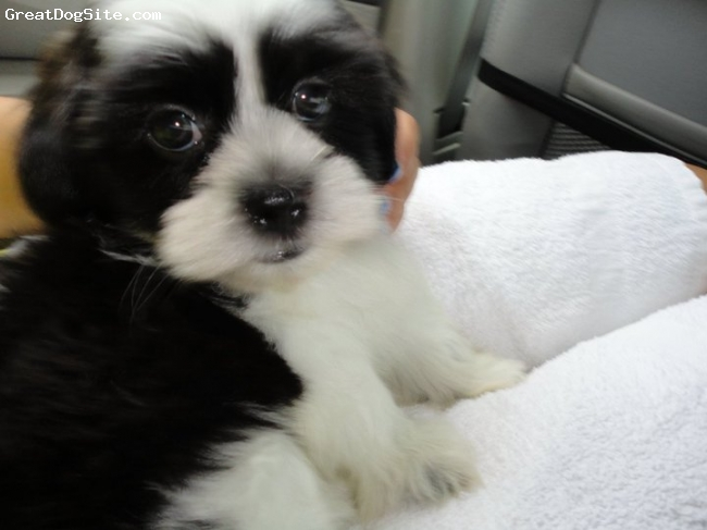 Mal-Shi, 3 months, Black and White, Riley loves to nibble at our feet, hes very loving and playful and he LOVES the attention because everyone tells him how cute he is.