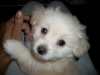 Malchi, 3 months old, white and cream
