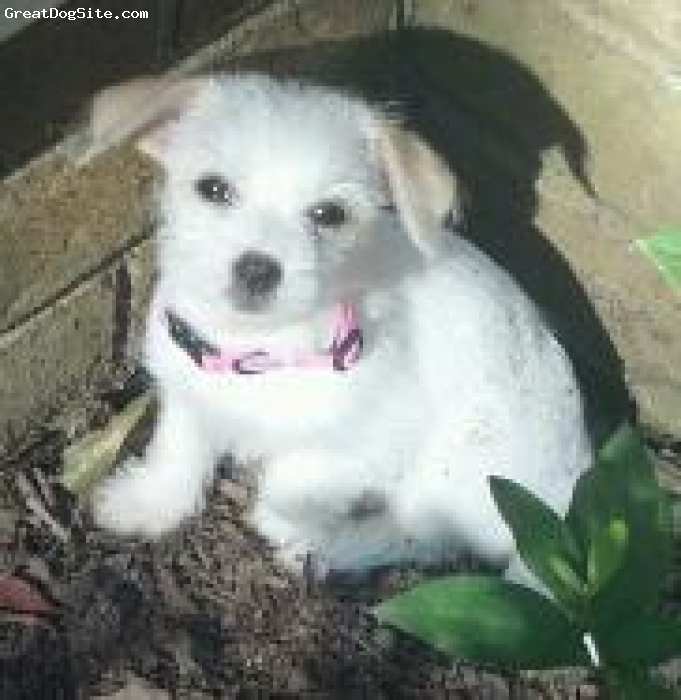Malchi, 10 weeks, White/Brown, Lily is playful peaceful dog. she is 10 weeks old
