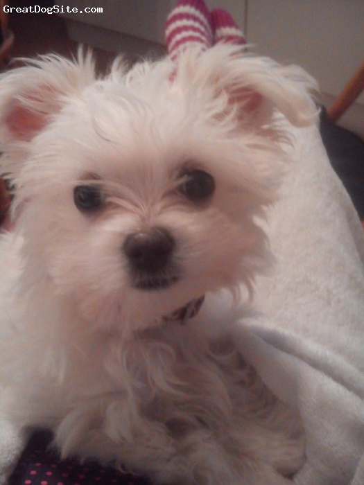 Malchi, 5 months, white, our little fluffball ,