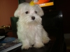 Maltese, 5 months old, white