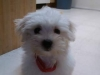 Maltese, 3 months, white