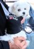 Maltese, 4 months, White