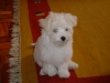 Maltese, 5 months, white