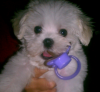 Maltese, 6 months, white
