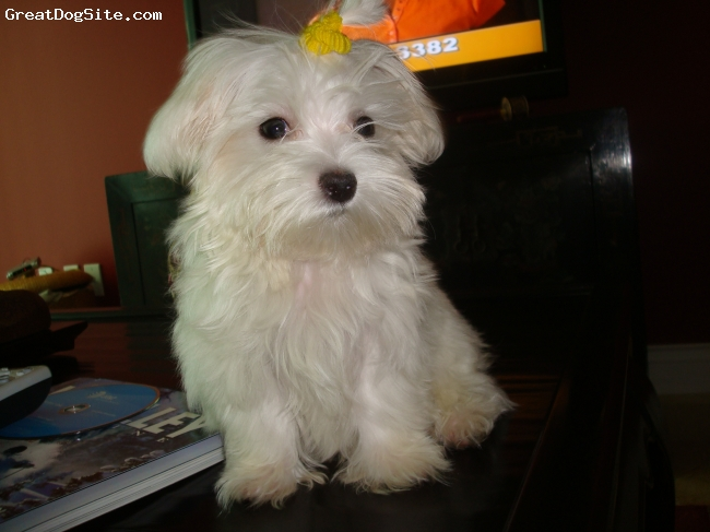 Maltese, 5 months old, white, very happy, sensitive, smart, friendly.