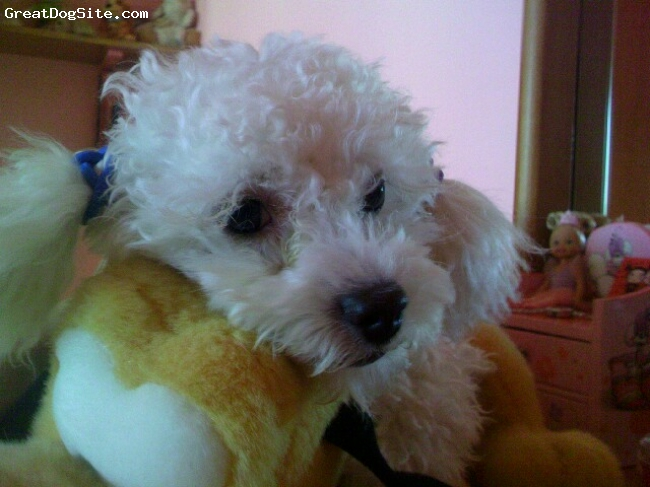 Maltese, 10 months, white, so this is my dog lilo. his head is on my fav soft toy Pluto!!