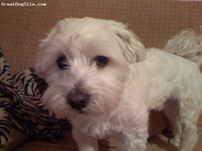 Maltese, 5, white, i sometimes b I t E.....but i am really sweet and tender with my owners ..