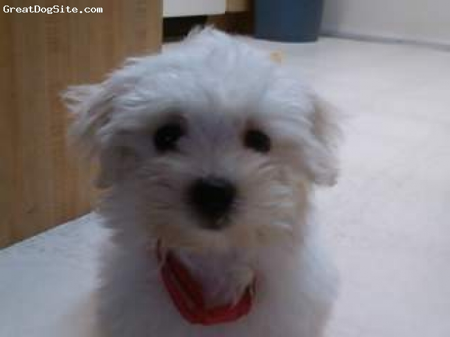 Maltese, 3 months, white, Jessie is very lovable and loves having her coat groomed. She was difficult to potty train but with patience she finally did learn. Jessie loves other being with other dogs even if they don't want her around. She never seems to get the hint.