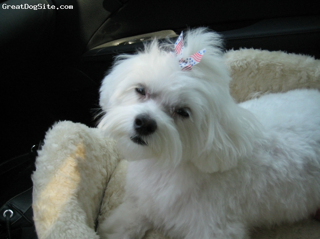 "Maltese, 2yrs old, White, This is my precious angel Lola.. She is so friendly and is not a big barker.. She is so pleasant and loving.. Has wongerful manners as well.. She is 16"" long and weighs 13lbs.. Very big for her breed.."