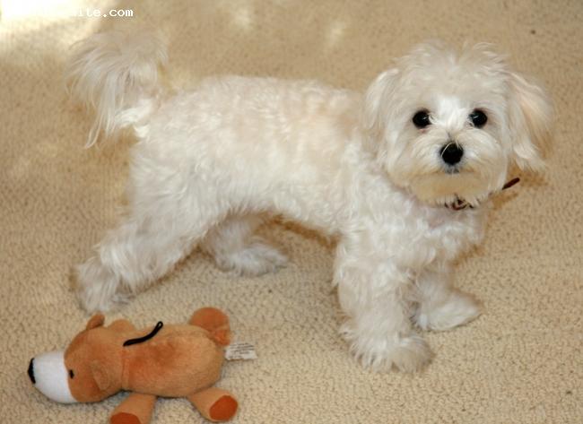 Maltese, 7 months, White, Rocky is a male full-bred Maltese