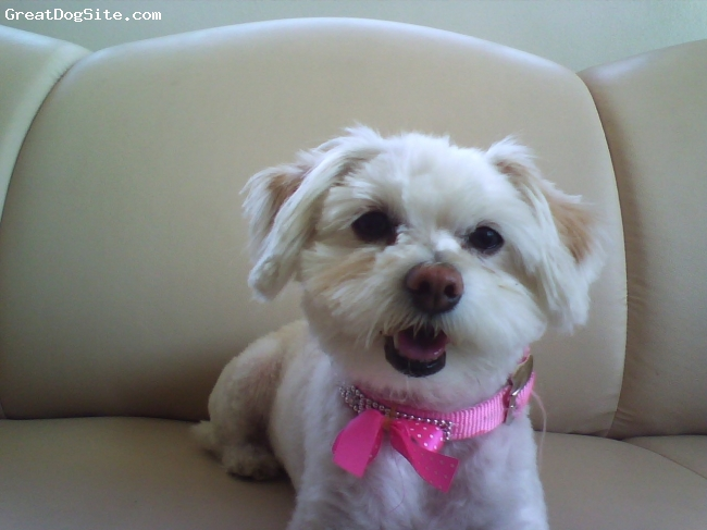 Maltese, 2, White, Mitzi is cute lovely friendly pet.