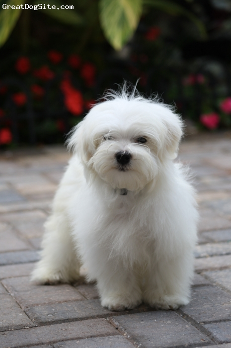Maltese, 4 month, white, Very smart, obedient, handsome, playfull, friendly and cute